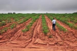 Cassava-Plantation2-440x292